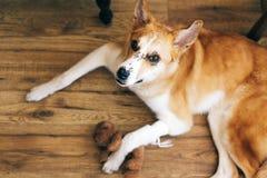 Leuke gouden hond die met verwonde poot na geneeskundebehandeling bij veterinair ligt, koesterend zijn teddybeerstuk speelgoed Sl stock foto