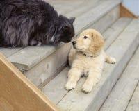 Leuke, grappige dierlijke het puppyhond van het vriendengolden retriever en kattenhuisdieren royalty-vrije stock afbeeldingen