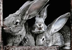 Leuke, grappige, grijze, bont, Geacclimatiseerde konijnen in een kooi Stock Foto's
