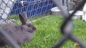 Leuke grijze en witte konijntjeskonijnen stock videobeelden