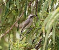 Leuke grijze vogel Stock Afbeelding