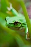 Leuke groene kikker Stock Afbeelding