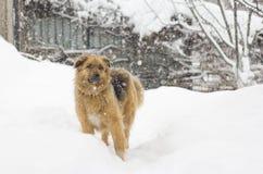Leuke grote pluizige hond in de sneeuw Stock Afbeelding