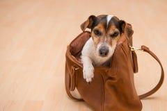 Leuke hefboom Russell van een hond in een zak royalty-vrije stock fotografie