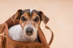 Leuke hefboom Russell van een hond in een zak royalty-vrije stock foto