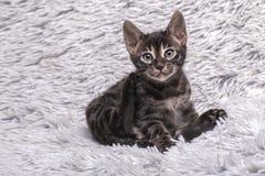 Leuke het katjeszitting van houtskoolbengalen op zachte grijze deken royalty-vrije stock foto's