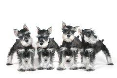 Leuke het Puppyhond van Baby Miniatuurschnauzer op Wit Stock Foto