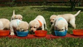 Leuke het puppyhonden die van Labrador van hun kommen eten stock video