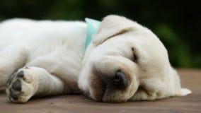Leuke het puppyslaap van Labrador op houten oppervlakte stock video
