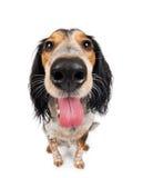 Leuke hijgende hond Stock Afbeeldingen