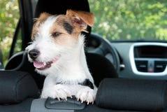 Leuke hond in auto Stock Fotografie