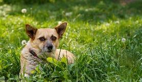 Leuke hond die op het groene gras liggen stock afbeelding