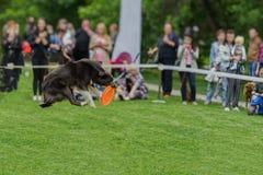 Leuke hond in het gras bij de zomerpark tijdens het vangen van een frisbeeschijf, sprongogenblik Geluk in energie en in motie Hon Royalty-vrije Stock Foto