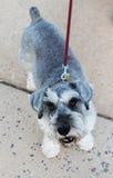 Leuke Hond op Leiband Stock Foto's