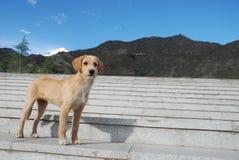 Leuke hond in tempel Drepung in Tibet Stock Foto