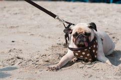 Leuke hondpug knipoogt oogvrees en het bange water overzeese strand wanneer de mensen proberen om pug te trekken om te spelen zwe stock foto's
