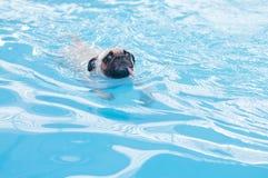 Leuke hondpug zwemt bij een lokale openbare pool, vlotter Stock Foto