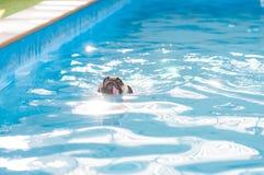 Leuke hondpug zwemt bij een lokale openbare pool, vlotter Stock Foto's