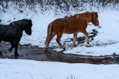 Leuke Ijslandse paarden in sneeuwweer Royalty-vrije Stock Foto