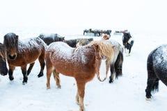 Leuke Ijslandse paarden in sneeuwweer Stock Foto's