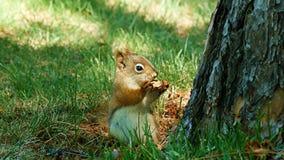 Leuke Jonge Eekhoorn die een noot eten en omhoog een pijnboomboom wegrennen stock video