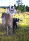 Leuke jonge geitjes Stock Foto