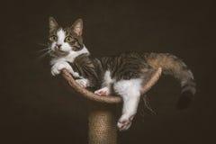 Leuke jonge gestreepte katkat met witte borst die bij het krassen van post tegen donkere stoffenachtergrond liggen Stock Afbeeldingen