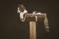 Leuke jonge gestreepte katkat met witte borst die bij het krassen van post tegen donkere stoffenachtergrond liggen Royalty-vrije Stock Foto