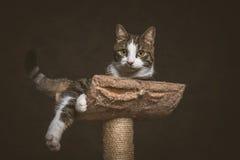 Leuke jonge gestreepte katkat met witte borst die bij het krassen van post tegen donkere stoffenachtergrond liggen Stock Afbeelding
