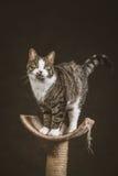 Leuke jonge gestreepte katkat met witte borst die zich bij het krassen van post tegen donkere stoffenachtergrond bevinden Royalty-vrije Stock Foto