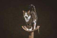 Leuke jonge gestreepte katkat met witte borst die zich bij het krassen van post tegen donkere stoffenachtergrond bevinden Stock Afbeeldingen