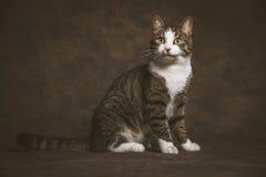 Leuke jonge gestreepte katkat met witte borst tegen donkere stoffenachtergrond Royalty-vrije Stock Afbeeldingen