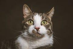 Leuke jonge gestreepte katkat met witte borst tegen donkere stoffenachtergrond Stock Foto