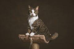 Leuke jonge gestreepte katkat met witte borstzitting bij het krassen van post tegen donkere stoffenachtergrond Stock Fotografie