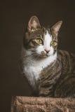 Leuke jonge gestreepte katkat met witte borstzitting bij het krassen van post tegen donkere stoffenachtergrond Stock Foto