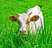 Leuke jonge koe Royalty-vrije Stock Fotografie