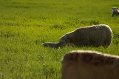 Leuke jonge lammeren met hun moeder die op groene grasgebieden voeden royalty-vrije stock afbeeldingen