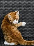 Leuke jonge rode kat die op bank liggen stock foto's