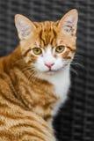Leuke jonge rode kat die op bank liggen royalty-vrije stock afbeeldingen