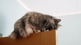 Leuke kat die hoogste deel van deur onderzoeken Lengte van grijze kat bovenop het houten deur snuiven stock footage