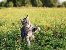 Leuke kat op vangsten van een de zomer de zonnige weide met zijn poot een vliegende oranje vlinder in duidelijk weer op groen gra royalty-vrije stock foto's