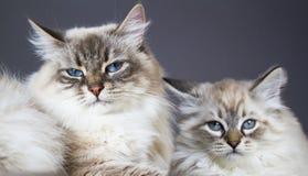 Leuke katten van Siberisch ras, Siberisch mamma en maskerade van zoons de witte neva stock afbeeldingen
