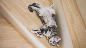 Leuke kattenslaap op houten treden, Gestreepte kat groene ogen en grijs gekleurd, Amerikaans kort haar half bloed Hoogste mening Stock Fotografie