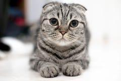 Leuke kattenslaap, Schotse Vouwen Stock Foto's