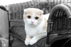 Leuke kattenslaap, Schotse Vouwen Royalty-vrije Stock Fotografie