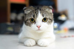 Leuke kattenslaap, Schotse Vouwen Royalty-vrije Stock Foto's