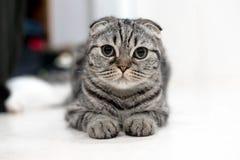 Leuke kattenslaap, Schotse Vouwen Stock Foto