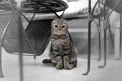Leuke kattenslaap, Schotse Vouwen Stock Afbeeldingen