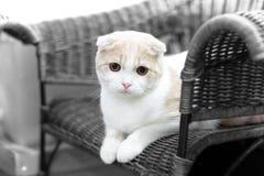 Leuke kattenslaap, Schotse Vouwen Stock Afbeelding