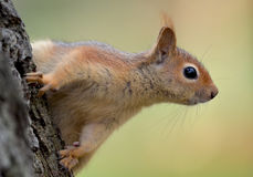 Leuke Kaukasische eekhoorn in profiel stock fotografie
